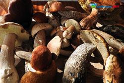 korbielów grzyby