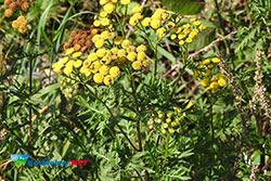korbielów zioła