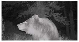 babia góra niedźwiedź